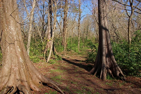 Many of the bald cypress trunks had exposed roots like the one on the right of the photo.