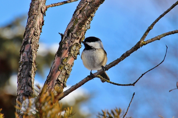 """dee-dee-dee, these little birds are already starting to sing their """"phee-bee"""" song"""