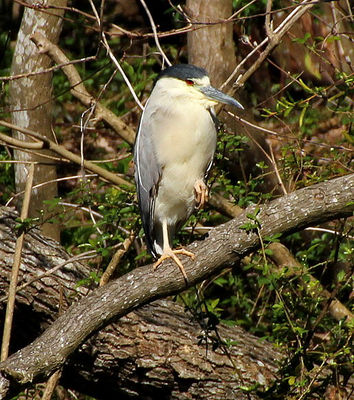 Black crowned Night Heron, hunched up and protecting one foot (at a time) from the cool wind blowing.