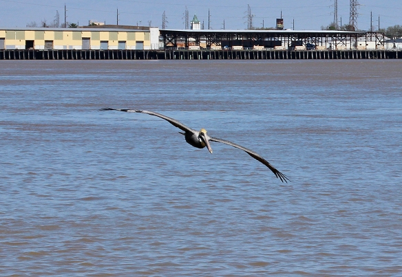 brown pelican-1