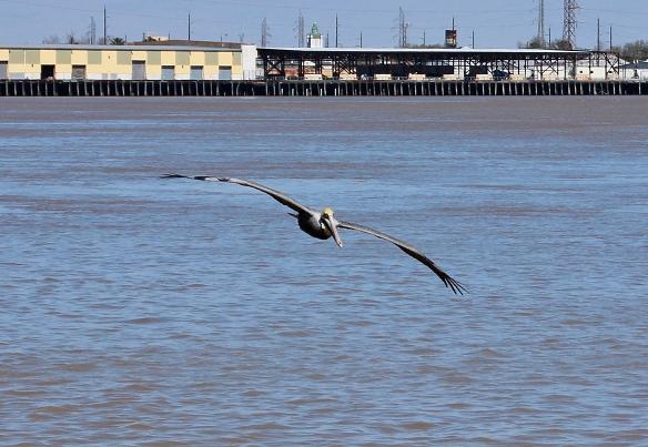brown pelican-1