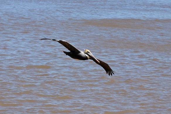 brown pelican-2