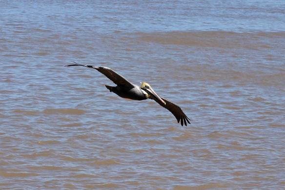 brown pelican-2