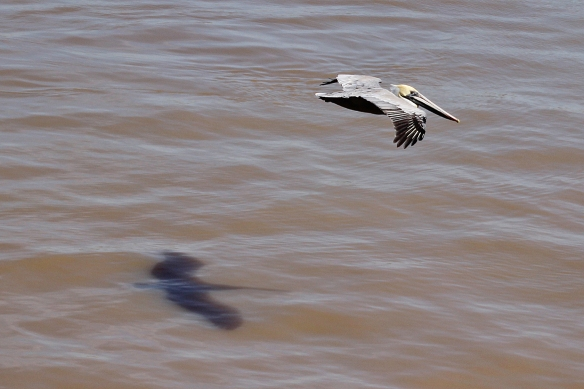 The neck is tucked in tightly to reduce drag.  I like the shadow the bird casts on the water as it flies by.