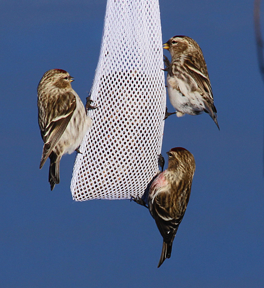 Feeding amicably on opposite sides of the feeder