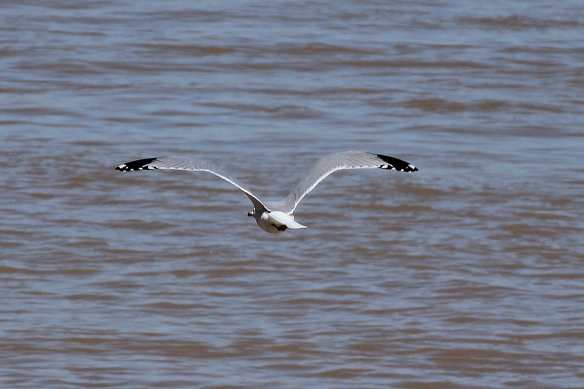 Crescent-shaped white spots on the trailing edge of the wing tips are more typical of Franklin's Gull than Laughing Gulls.