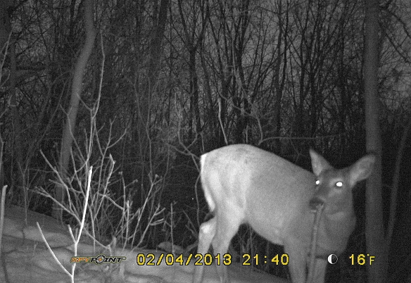 One of the does traverses the path at 9:40 p.m.  Note eyeshine from the LED flashes.