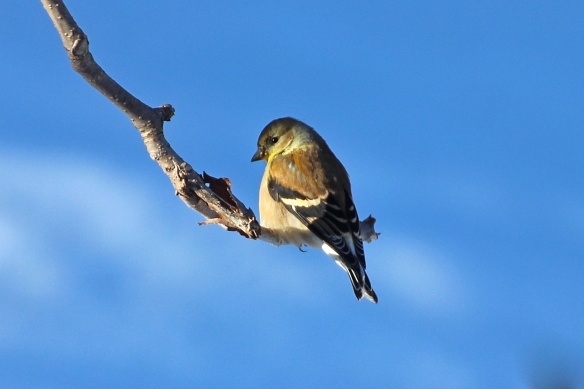American Goldfinch, taken through my porch window.  I'm not opening the windows today!
