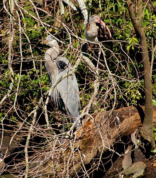 Very shy Great Blue Heron hiding in the brush with a young White Ibis
