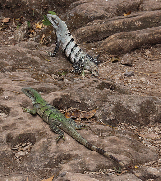 Color morphs of the Black Spiny-tailed Iguanas.