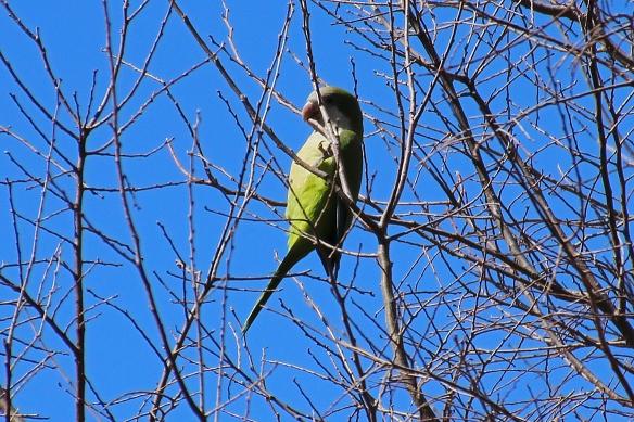 Monk Parakeet, Myiopsitta monarchus