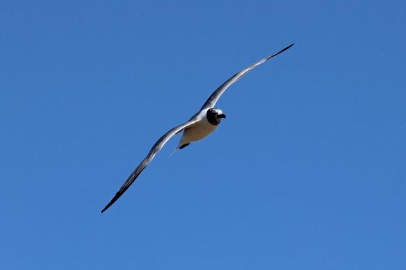 gull flight