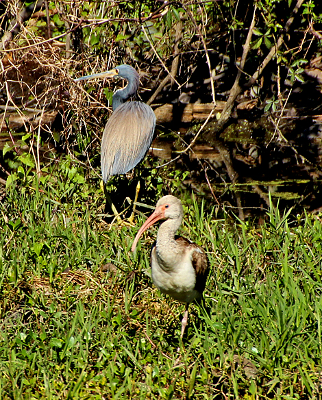 Tri-colored Heron and young White Ibis