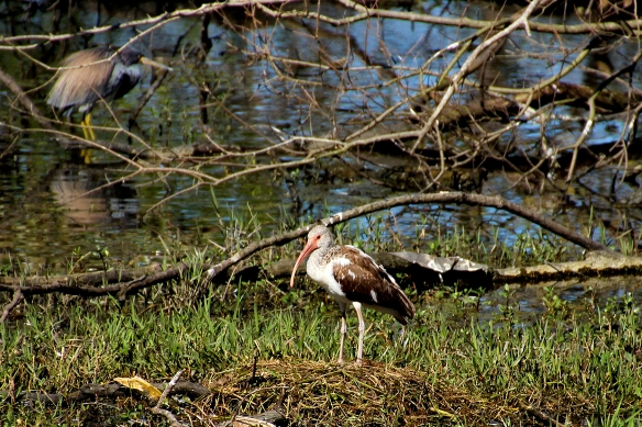 Young White Ibis (foreground) and Tri-colored Herons (background)