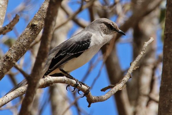 Tropical mockingbird on Cozumel island