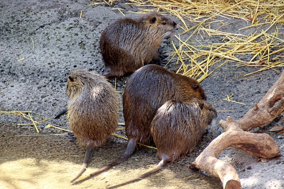 Young nutria are born fully furred, can eat vegetation immediately after birth, and are only nursed for 7-8 weeks, after which they are independent.