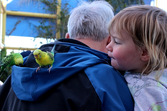 Hoods of sweatshirts and jackets were also popular with the parakeets.  Youngest granddaughter was enchanted with the birds.