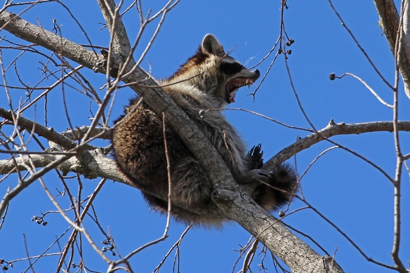 Normally only nocturnally active, raccoons must like napping in the afternoon.  A big yawn preceeded head drooping  posture in this fellow.