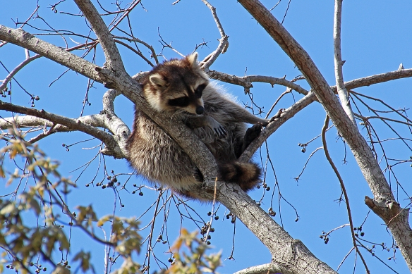 I have never seen racoons in trees, but there were several of them here, relaxing in the late afternoon sunshine.