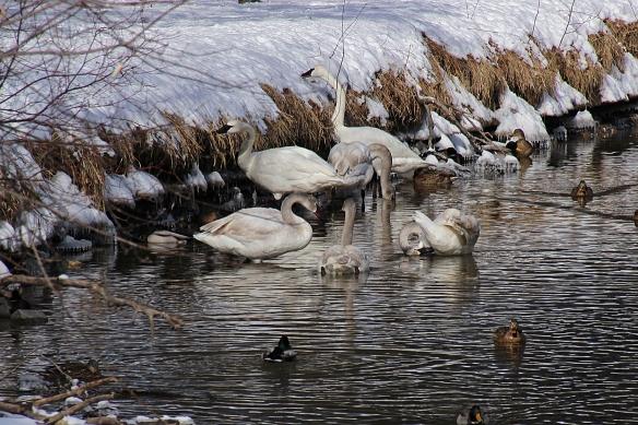 swans at vadnais inlet