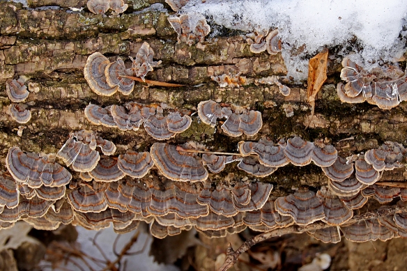 Turkey tail fungi sort of resemble the real thing.