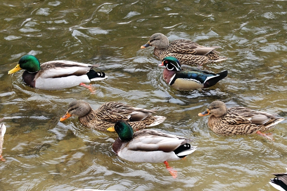 wood duck among mallards