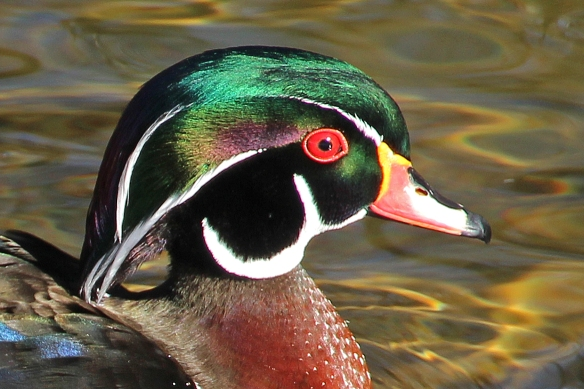 When the sun is out, it lights up the iridescent feathers.  Any area with what looks like black feathers are actually iridescent purple, green, even yellow.