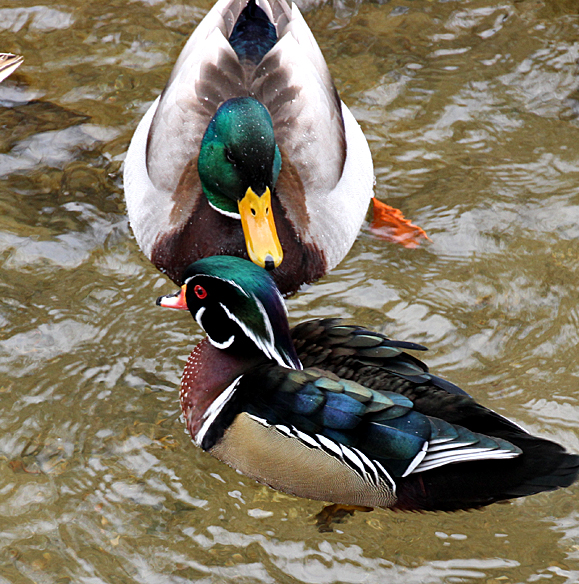 Male Mallards were not at all aggressive toward Woody, and tolerated his presence better than the females did.