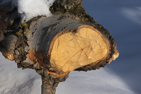 The trunk was probably about 12 inches in diameter, too large to cart off to the lodge, so they harvested the bark and some of the smaller branches.