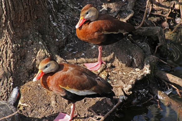 I'll follow wherever you go...says the male Black-bellied Whistling Duck to his potential mate