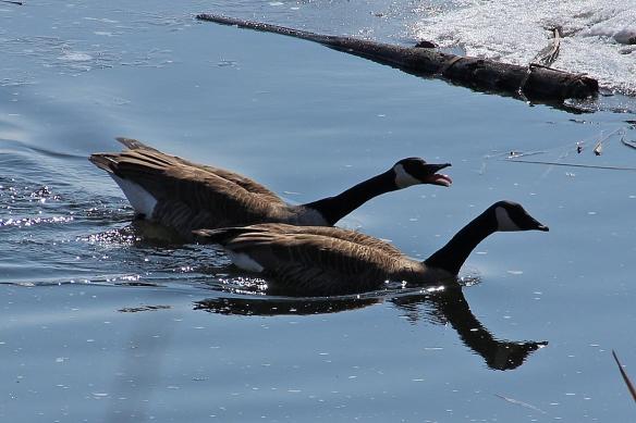 Canada goose courtship-15
