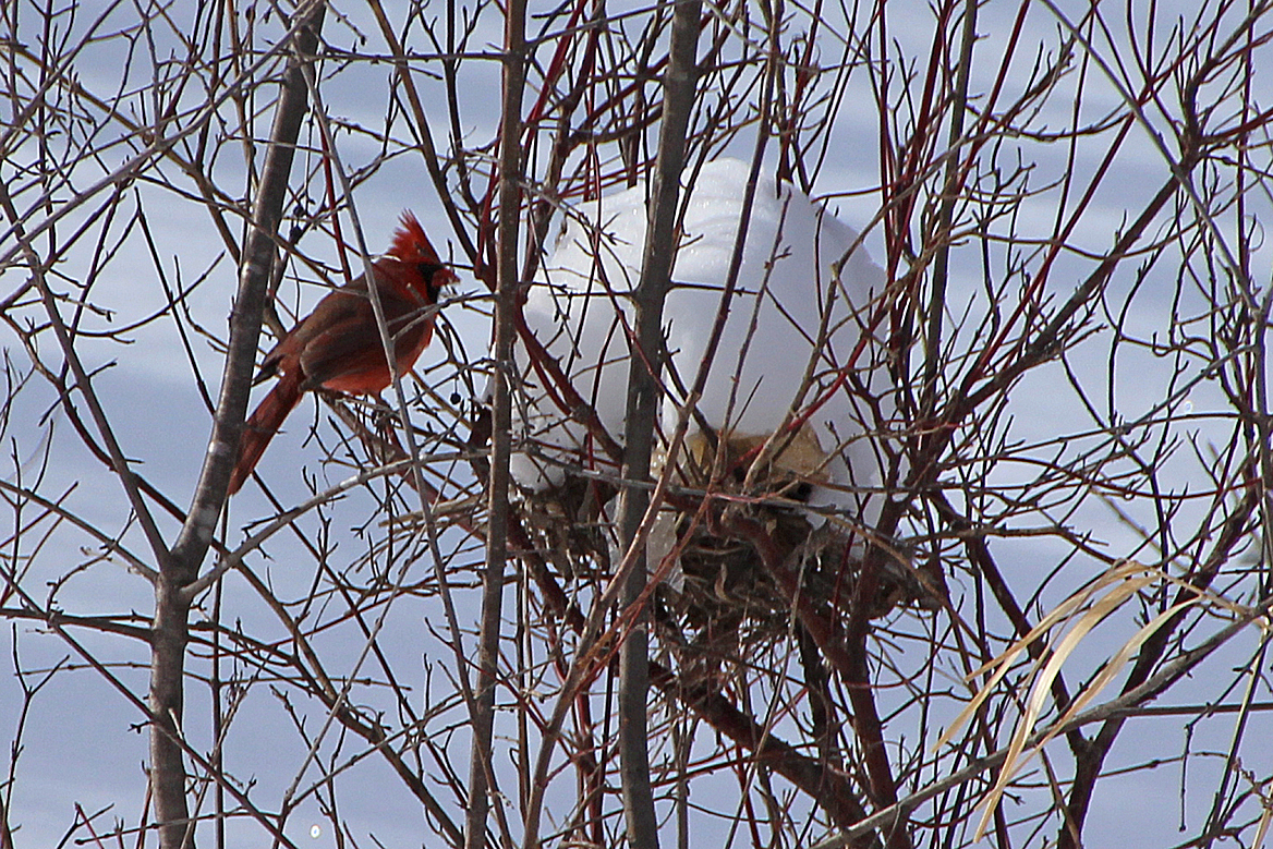 Cardinal Looking For A Nest Site