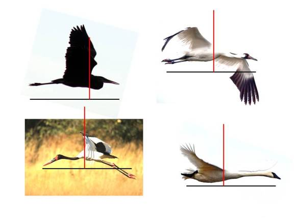Image of long-necked flyers are scaled to the same length (black line) and center of mass is indicated by the red line.  Rear-heavy birds (crane, swan, and stork) balance by extending their necks in flight.  Small-bodied herons and egret pull the neck inward to balance.