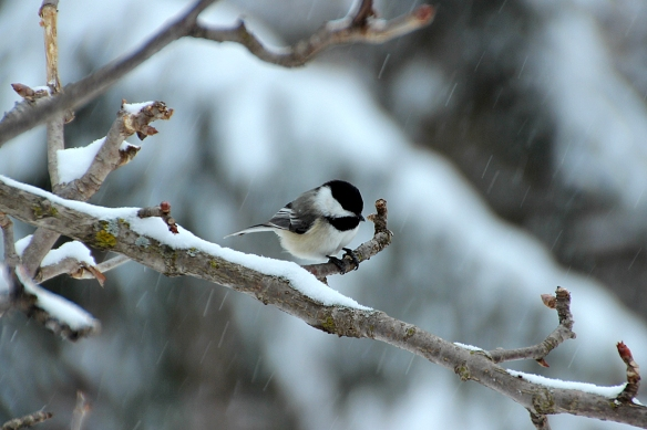 The indomitable chickadees were back in action.