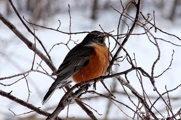 cold Robin