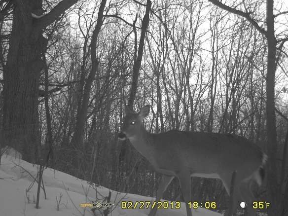 White-tailed Doe traveling south at dusk