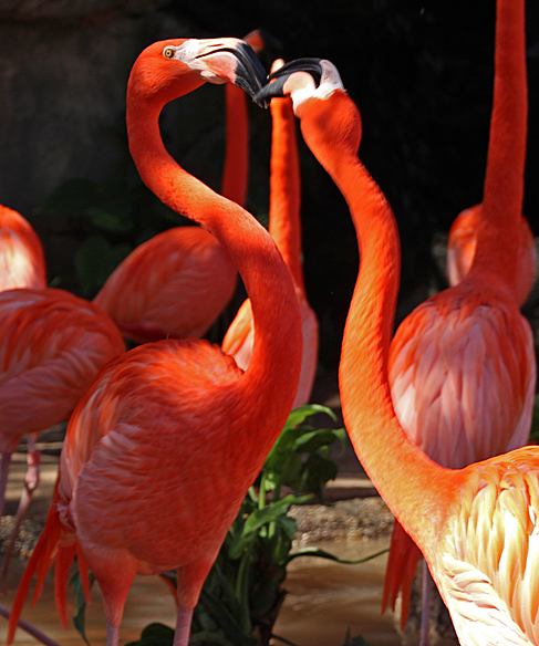A little male to male beak-fencing action to prove who is top dog among the flamingos