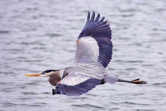 Great Blue Heron image by Alan D. Wilson, www.naturespicsonline.com