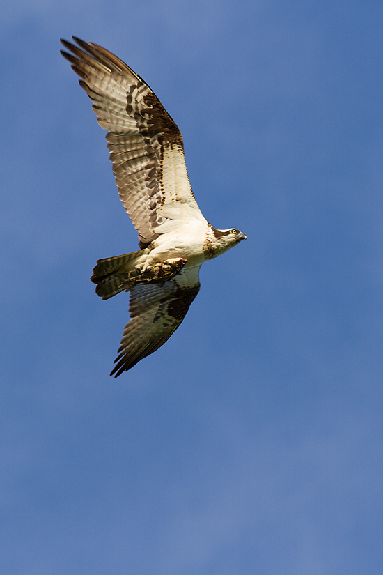 Adaptable wings serve a variety of purposes in osprey:  they can soar in circles over water while hunting, make rapid course changes, even hover briefly as they put down their feet to grab a fish.