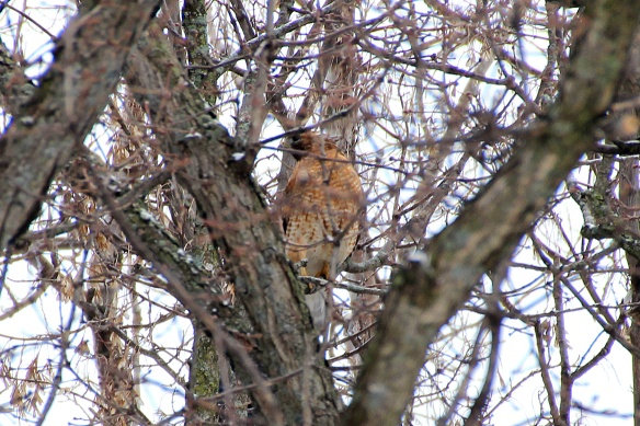 The hawk took refuge in the center of the oak, so it was surrounded by branches and not highly visible.