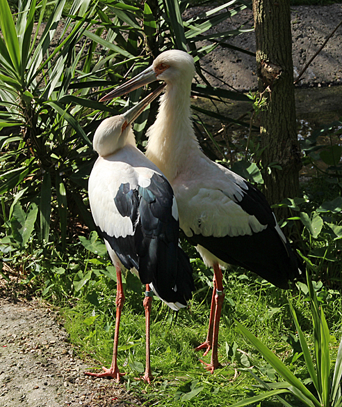 Neck nibbles between member of this stork couple