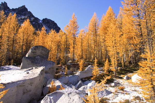 Flaming Larch trees in the Enchantments, Washington state.