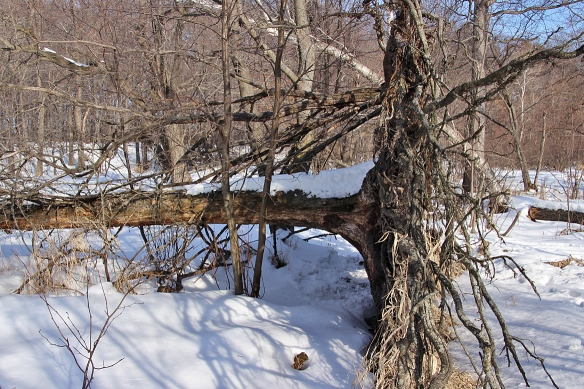 This side view of a downed tamarack shows how shallow the root ball can be in a particularly swampy area.