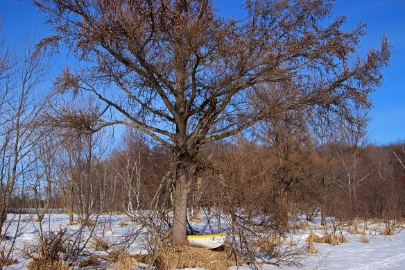 Tamarack are nothing but bare scraggly branches and cones during the winter, having dropped their needles in the fall.