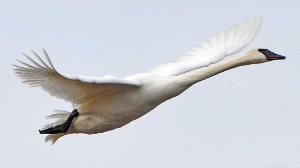 Trumpeter Swan image from Wikimedia Commons