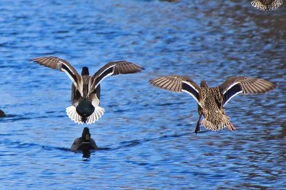 The same two ducks landing seconds after the previous photo.