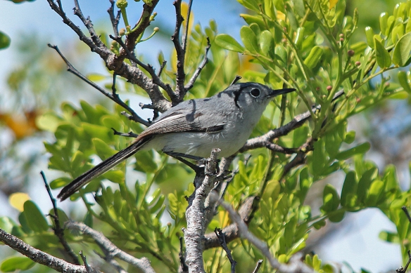 Every now and then, you might get lucky.  This is the Cuban Gnatcatcher, a small insectivore, and another bird endemic to Cuba.