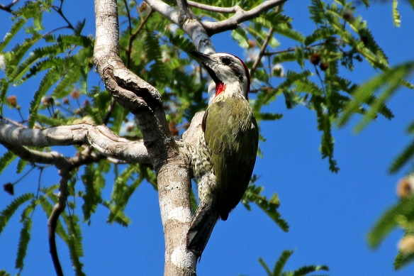 The Cuban Green Woodpecker is about the size of a Hairy Woodpecker.  The belly feathers are lemon yellow, which adds to its colorfulness.