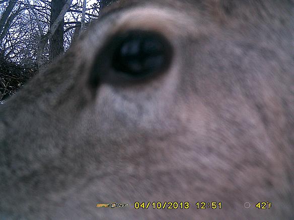 deer eyeball