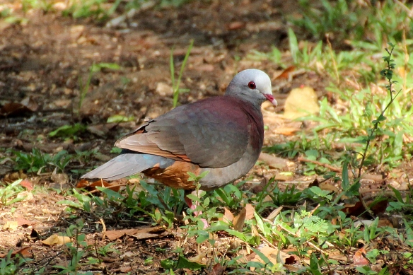 Gray-headed Quail-Doves are shy and somewhat solitary.  We waited almost two hours for this one to show up.